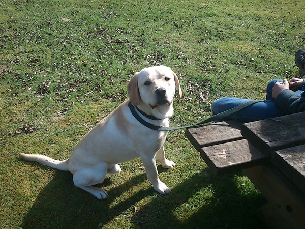 Pet sitter required for our lovely labrador