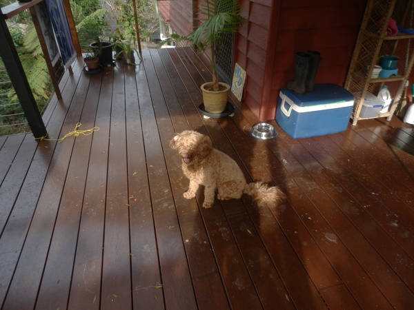 Pet sitter needed for my Labradoodle for 3 weeks over Christmas holiday in Lennox Head, NSW, Austr