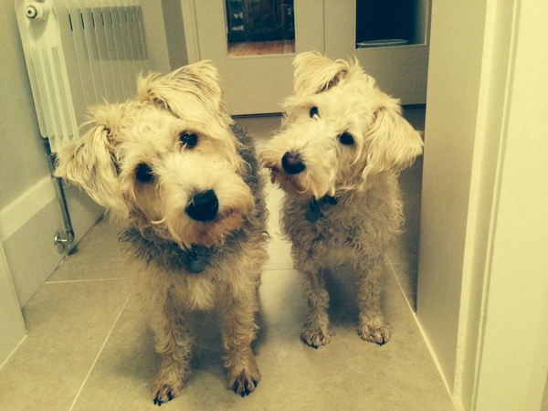 Pet & house sitter required in Harrogate,UK for 2 lively terriers for part of or the whole period that we are away
