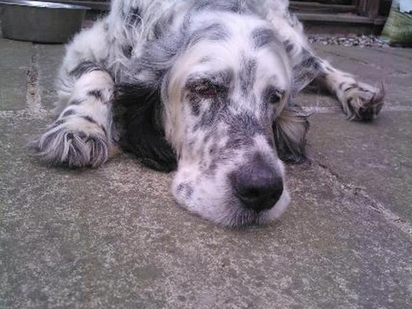 Norfolk countryside location, caring for English setter + cat