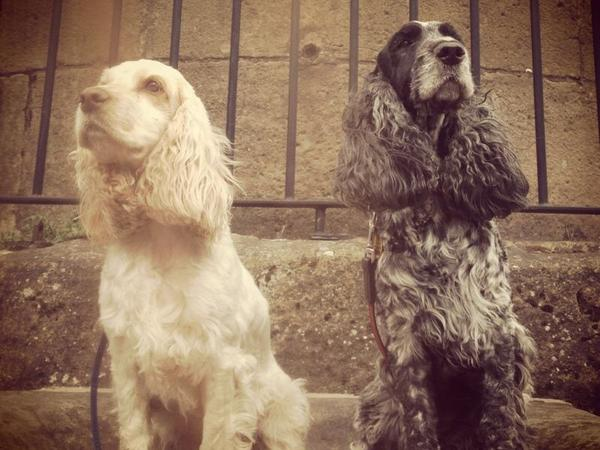 2 cocker spaniels need Easter care in village near market  town of Oakham