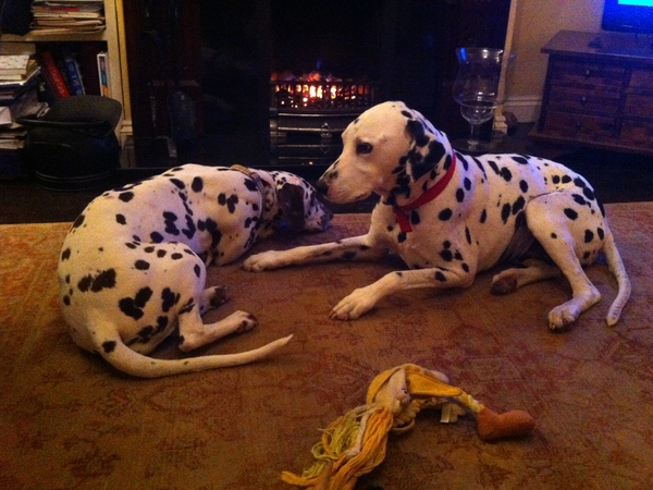 Home/pet sitter for my 2 Dalmatians 29thDec/9th Jan Bedfordshire