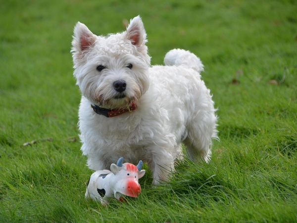 Pet sitter needed for 2 year old Westie from Monday 3 April to Wednesday 12 April 2017