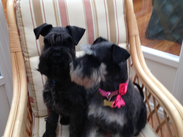 Pet /house sitter wanted 21-28 April 2017 for two lively mini schnauzers