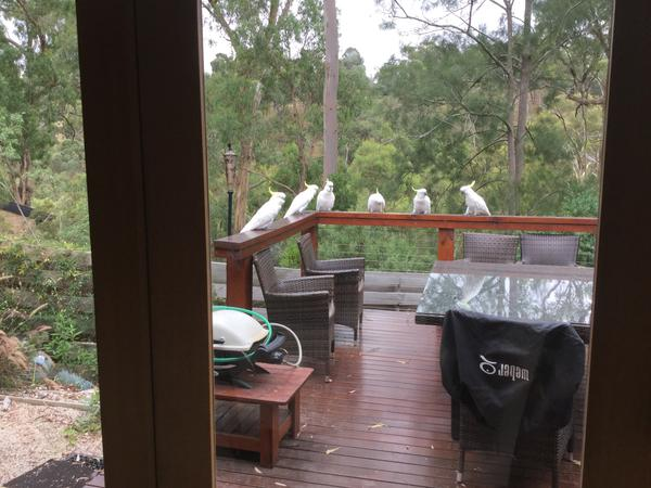 Cat loving housesitter(s) required for indoor cats in a tranquil house overlooking bushland
