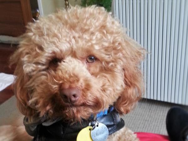 Active little Toy Poodle