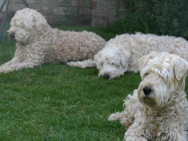 5 wheaten terriers from 3 generations