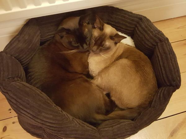 Chill out in Oxford with two gorgeous Burmese cats in a large house