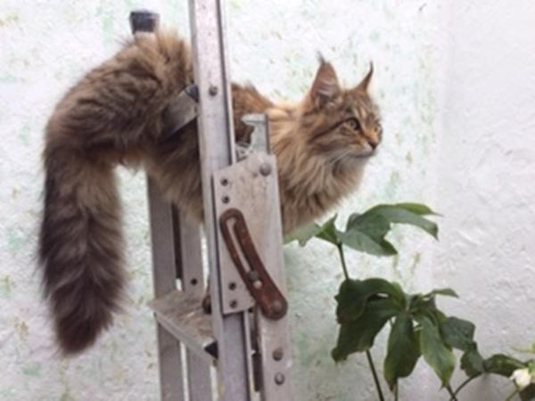 Two Young Female Maine Coons need house sitter