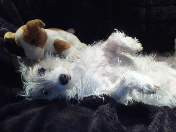 pet sitter for jack russell & ferret for up to 18 days on welsh borders