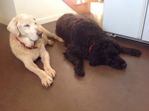 Pet sitter for two spunky, large senior dogs