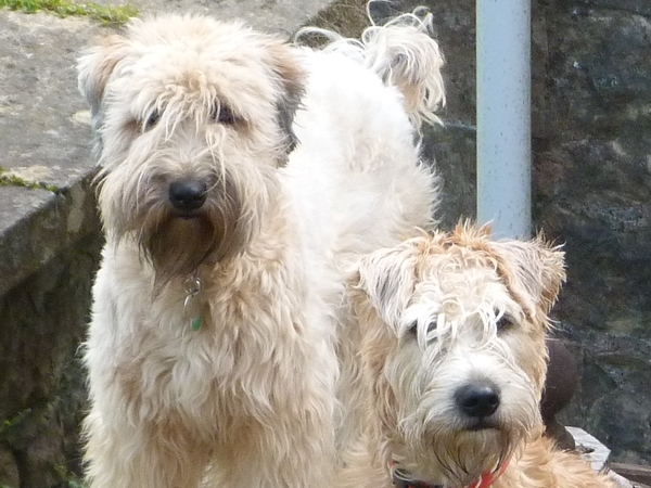 Can you care for our two Wheaten Terriers this September in a small village just outside Bristol?