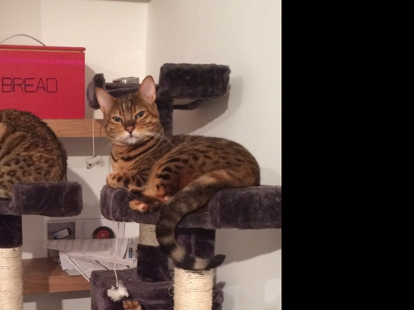 Pet Sitter Needed for Bristol, 3 Gorgeous Cats
