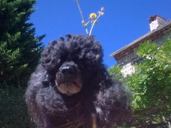 House/Pet Sitter/s needed ---3 older little poodles ---