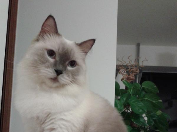Cat sitter needed for a Ragdoll in Brisbane, Australia