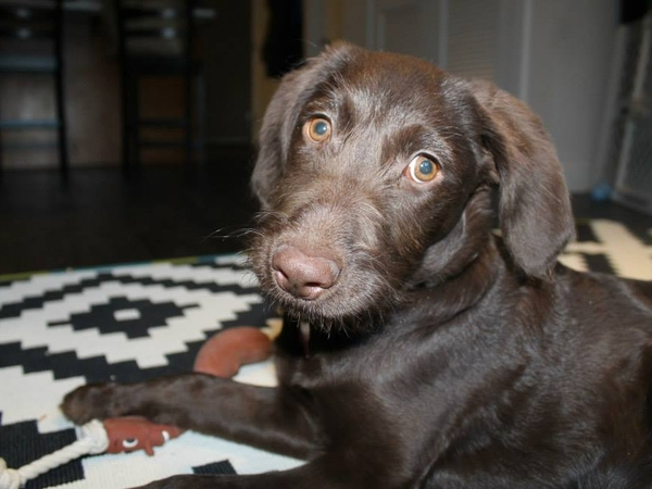 Pet Sitter needed for a 6 month old lab for 1 week in CO