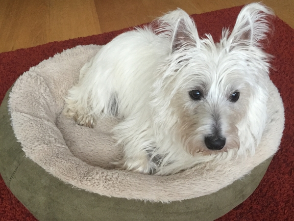 Westie needs a live in friend for a week.