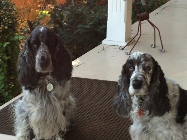 Pet sitter needed for our 2 English Cockers in Gibsons B.C.