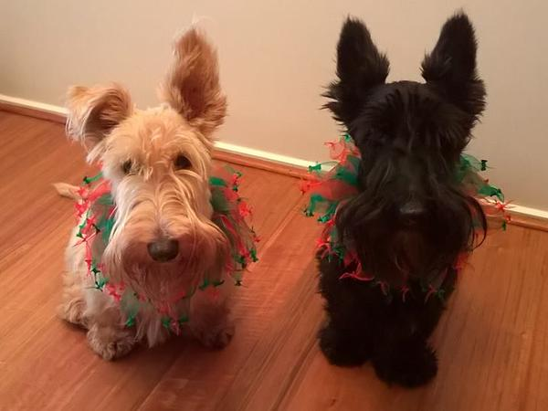 TWO SCOTTISH TERRIERS