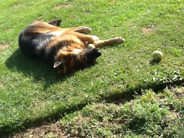 Pet sitter needed for very affectionate one year old German Shepherd for up to 6 weeks from January 27th.