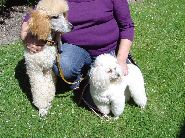 Pet Sitter for my 2 Poodles while we are away overseas for 8 weeks