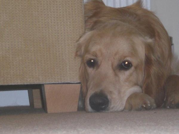 Pet sitter 2 golden retrievers Ashburton, DEVON