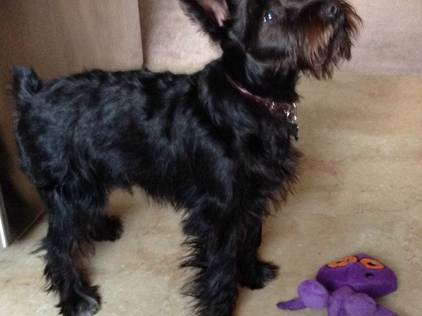 Mini Schnauzer Sitter Needed - by the beach, CA