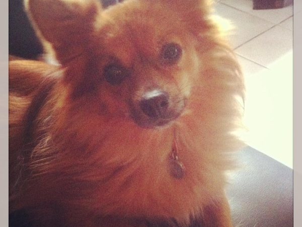 Pet sitter/ house sitter needed for our 6 year old Spitz.