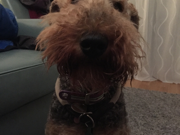 In search of a caring pet sitter for our senior Airedale Terrier (Ronnie) in Munich, Germany (Bogenhausen)