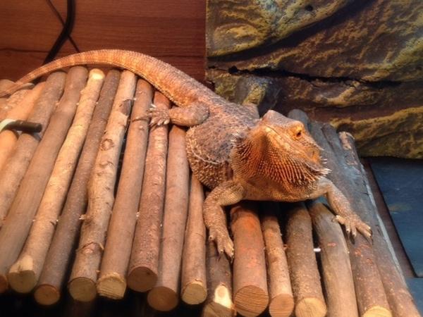 Seaside pet sitter needed for bearded lizard