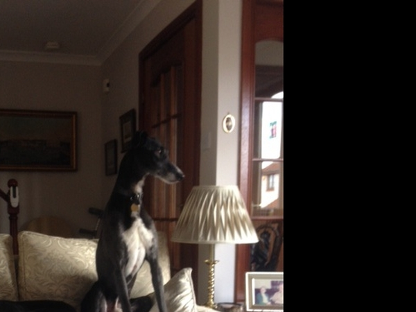 2 Lurchers in Hebden Bridge, West Yorkshire