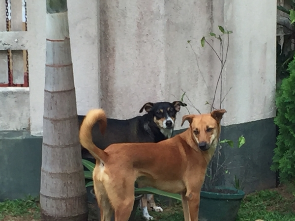 Sitter found - Pet sitter needed for two nervous dogs in beautiful Sri Lanka