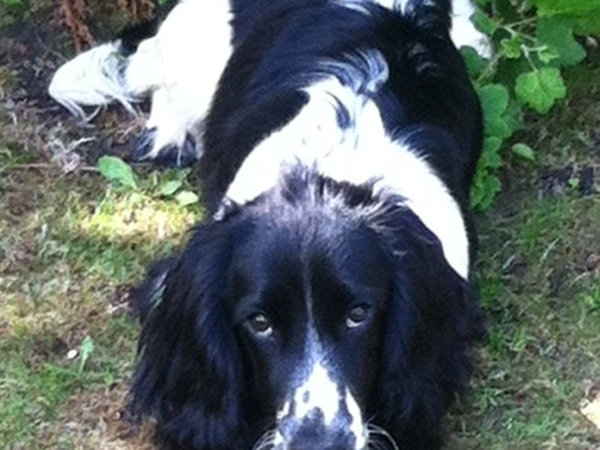 Pet and house sitter needed for our much-loved spaniel Monty