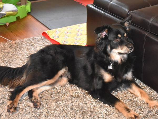Pet Sitter Needed for Lovable & Fun Loving Aussie Sheppard Cross