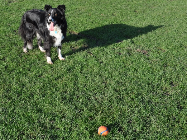 Border Collie in New Forest UK