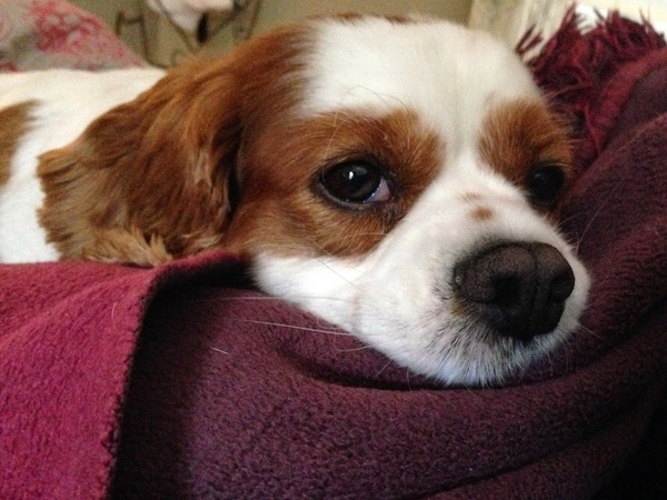 Dog sitter wanted for a 8 Year old King Charles Cavalier